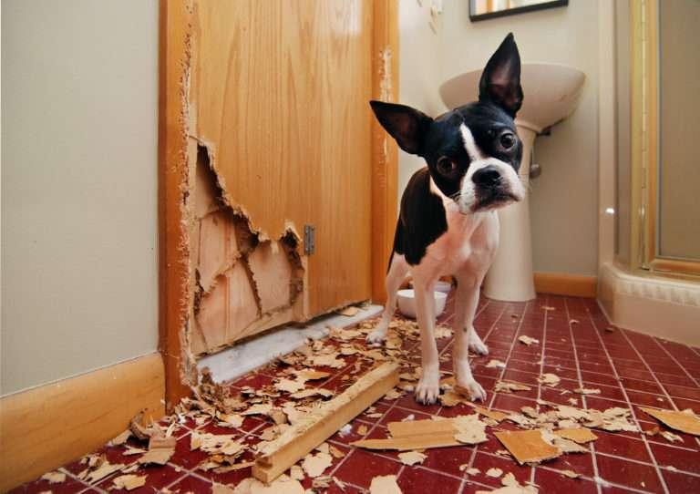 Bostonek znicil dvere 768x542 1